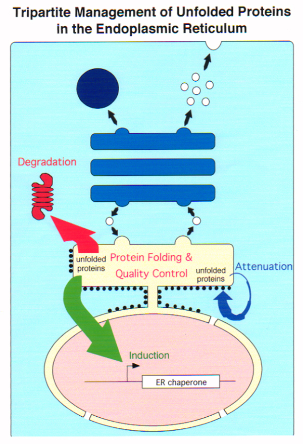 図1 タンパク質の分泌経路と品質管理  (参考文献:Mori, K. (2000) Cell, 101, 451-454)