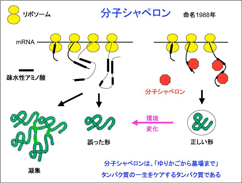 分子 シャペロン